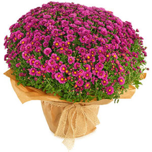 Lila krysantemum. Papper och band runt om växten. Ur Euroflorists sortiment.