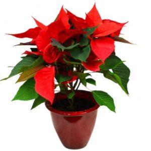 Röd kruka med röd julstjärna, Florister i Sverige