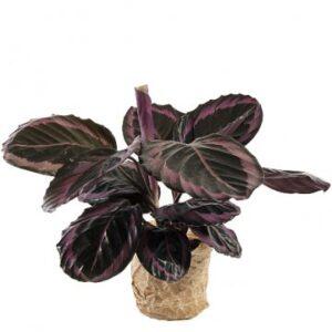 Vacker krukväxt (Calathea roseopicta surprisestar) - skicka den via Florister i Sverige och överraska en vän!