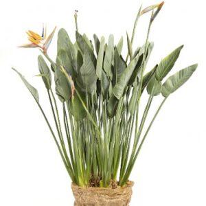 Stor Strelitzia som krukväxt - skicka den via Florister i Sverige och gör någon glad!
