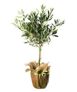 Olivträd, skicka med blomsterbud från Interflora!