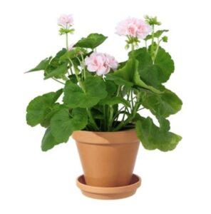 Rosa pelargon i terakottakruka. Beställ som blomsterbud i Interfloras e-butik!